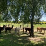 Alpaka Herde in Rubkow