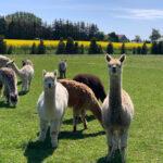 Alpaka Tiere in der Alpaka Idylle